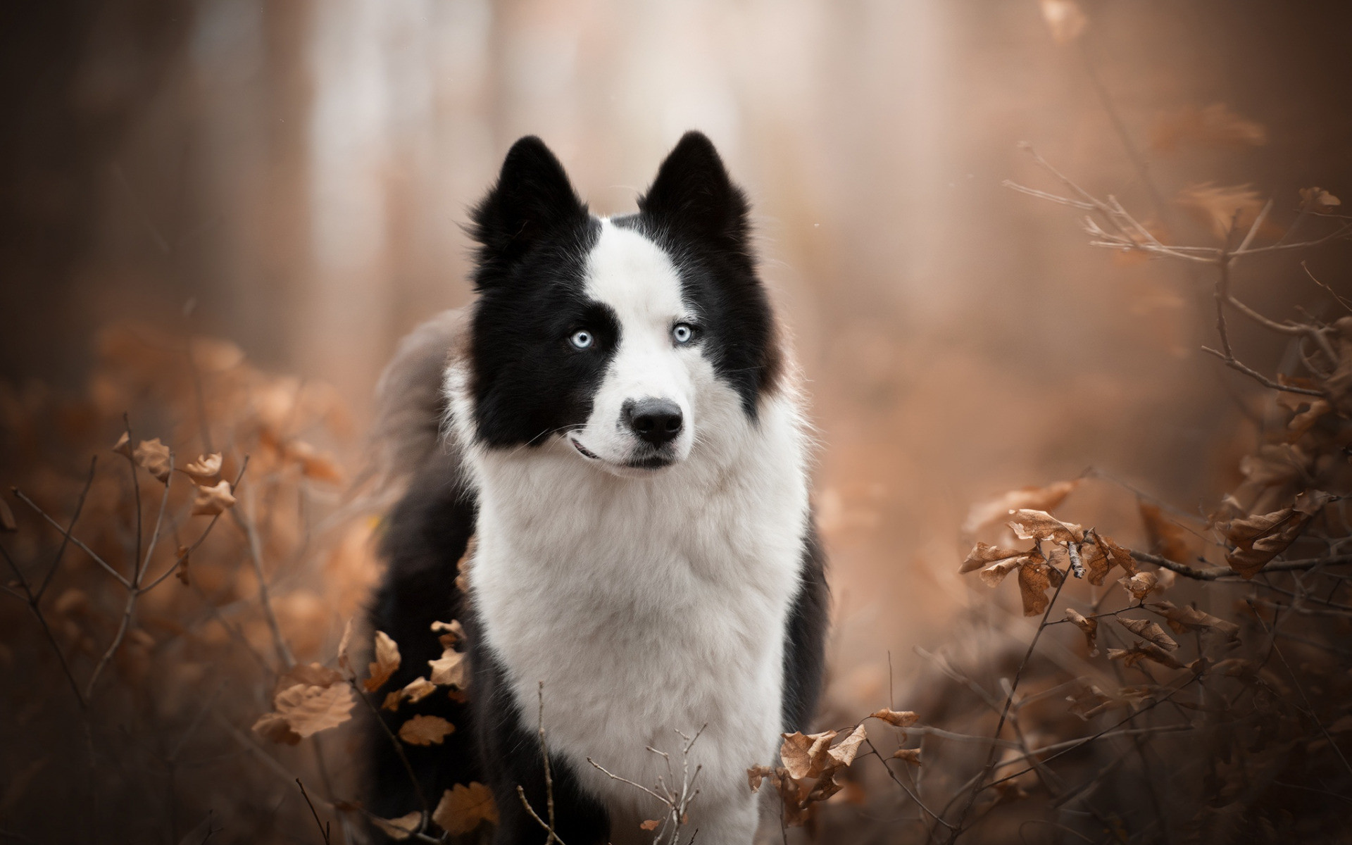 border-collie-black-and-white-fluffy-dog-pets-cute-animals-forest