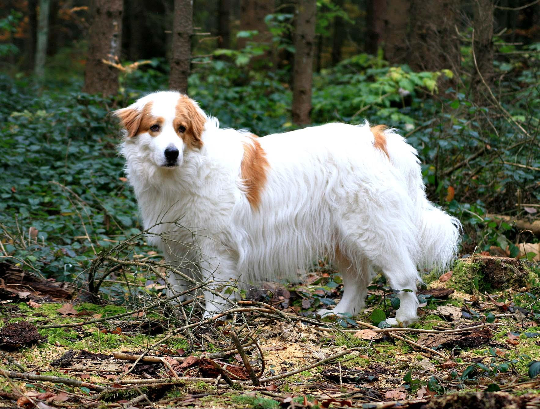 tornjak-tornjak-dog-in-the-forest-breed