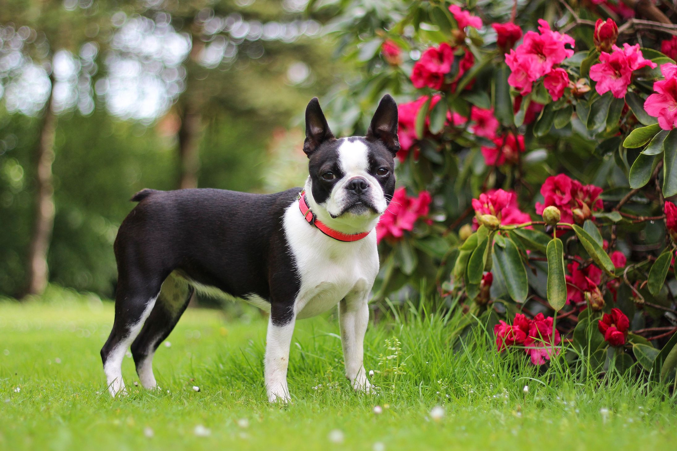 18-dog-breeds-that-dont-shed-much_2